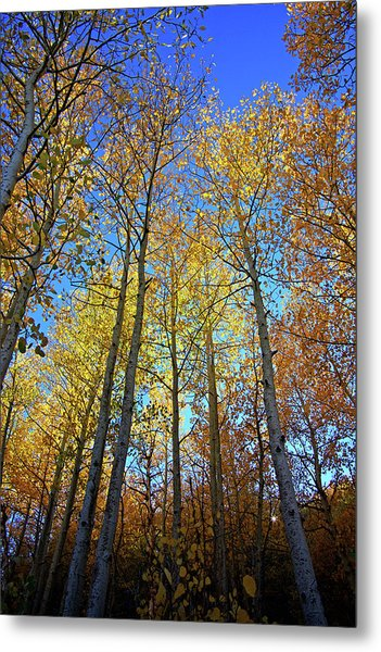Tall Aspens Metal Print