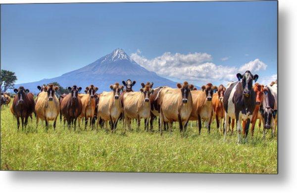 Taranaki Cows Metal Print
