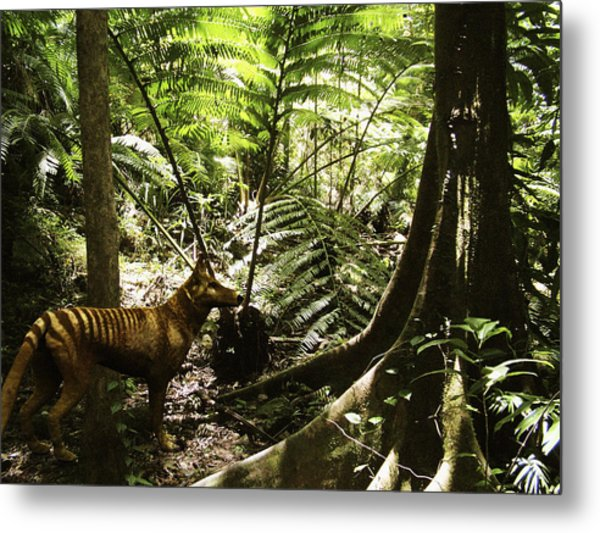 Tasmanian Wolf In Forest Metal Print by Christian Darkin
