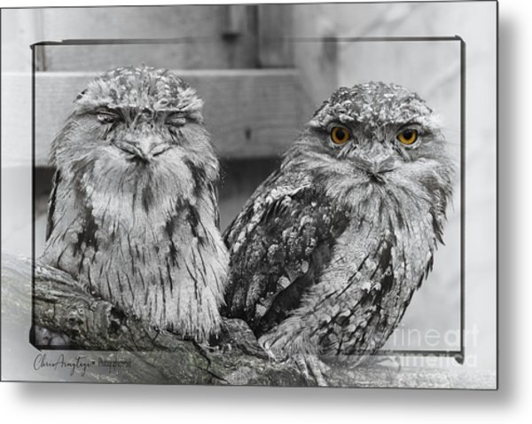 Tawney Frogmouths Metal Print