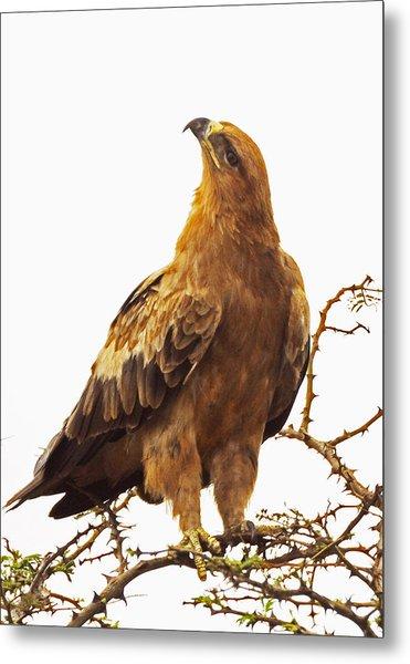 Tawny Eagle Metal Print
