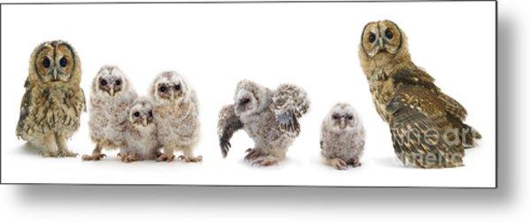 Tawny Owl Family Metal Print