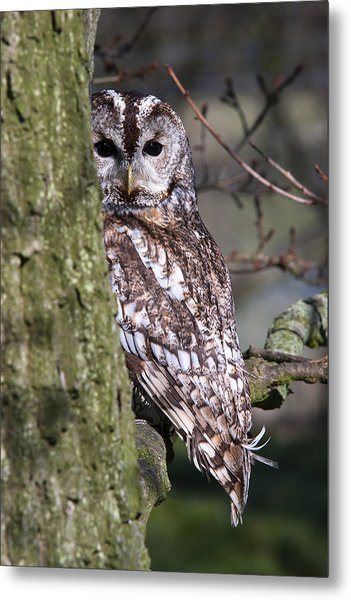 Tawny Owl In A Woodland Metal Print