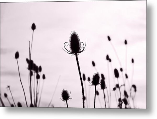 Teasels In A French Field  II Metal Print by Gareth Davies