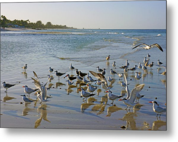 Terns And Seagulls On The Beach In Naples, Fl Metal Print
