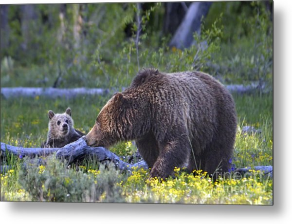 Teton Grizzly Mama And Cub Metal Print