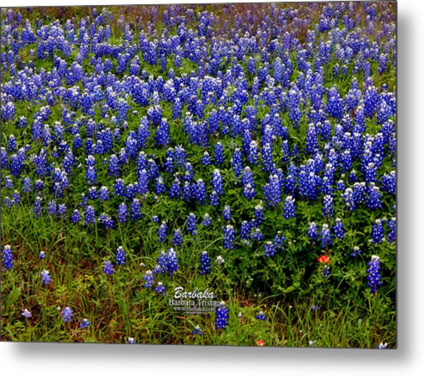 Texas Bluebonnets #0484 Metal Print