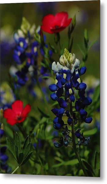 Texas Blue Bonnett Metal Print