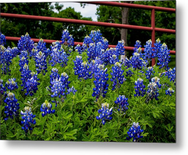 Texas Bluebonnets In Ennis Metal Print