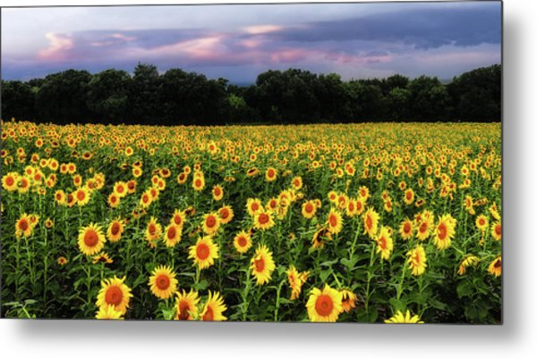 Texas Sunflowers Metal Print