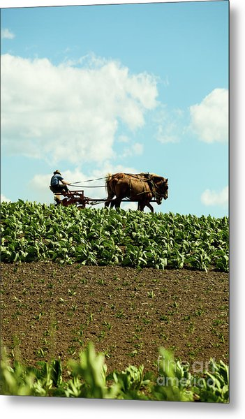 The Amish Farmer With Horses In Tobacco Field Metal Print