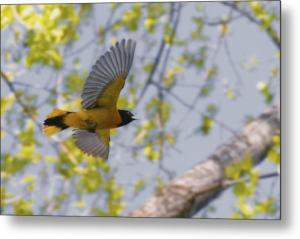 The Baltimore Oriole In-flight Metal Print