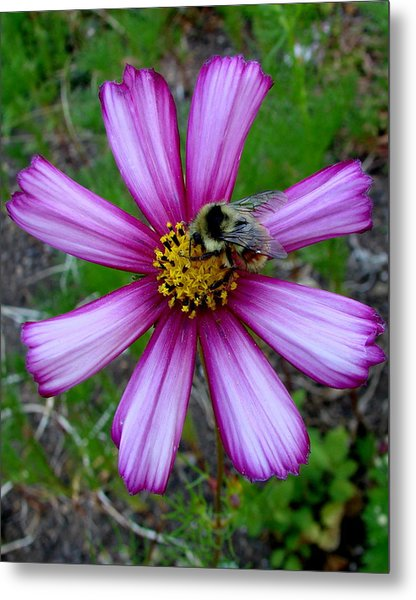 The Bee And A Pink Cosmos Metal Print by Ed Mosier