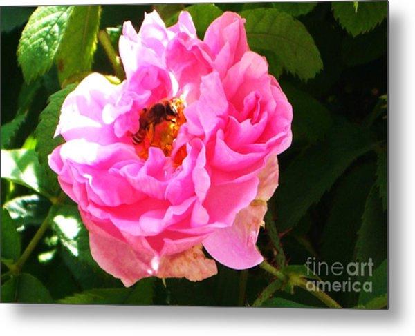 The Bee In The Rose Metal Print by Sunaina Serna Ahluwalia
