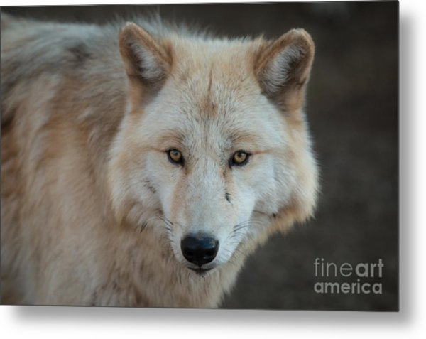 The Big Beautiful Wolf Metal Print