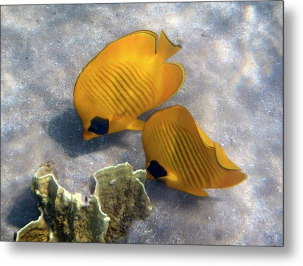 The Bluecheeked Butterflyfish Metal Print