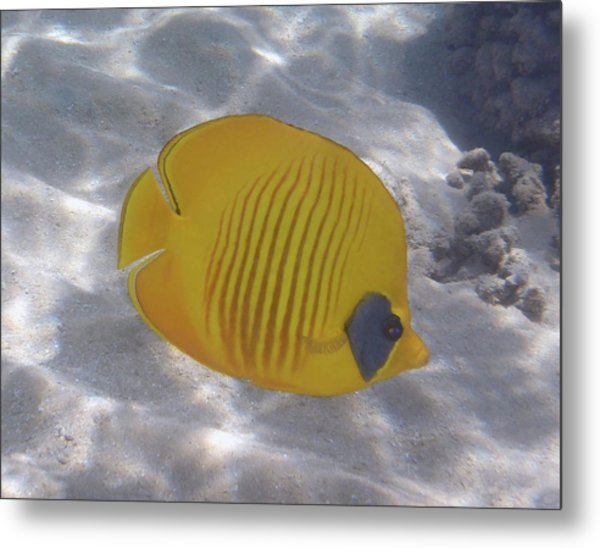 The Bluecheeked Butterflyfish Red Sea Metal Print