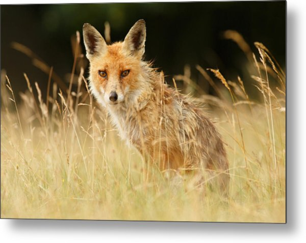 The Catcher In The Grass - Wild Red Fox Metal Print