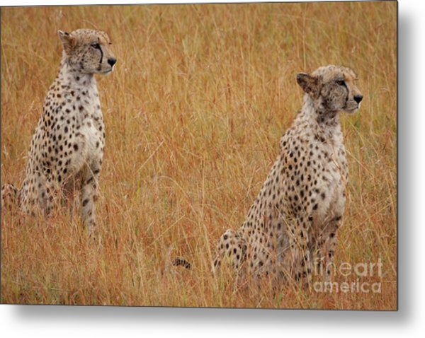 The Cheetahs Metal Print
