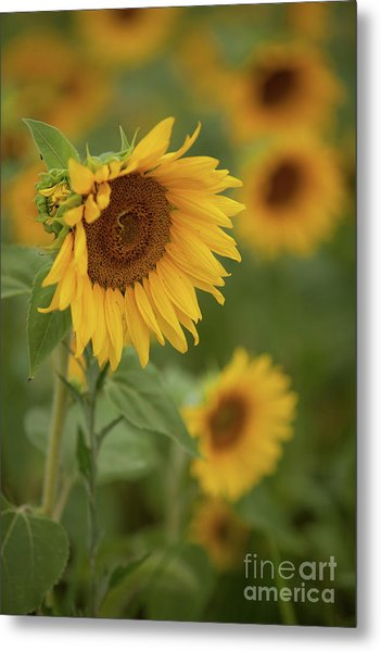 The Close Up Of Sunflowers Metal Print