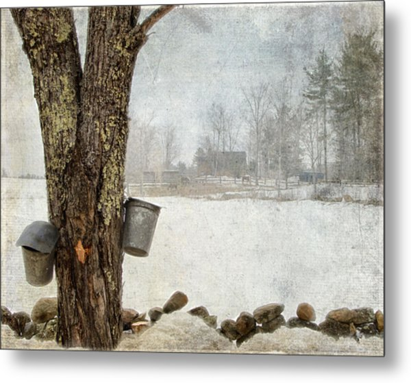 Collecting Sap For Making Maple Syrup Metal Print