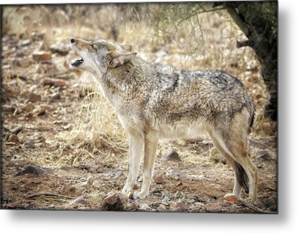 The Coyote Howl Metal Print