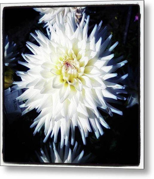 Metal Print featuring the photograph The Devoted Dahlia. The White Dahlia by Mr Photojimsf