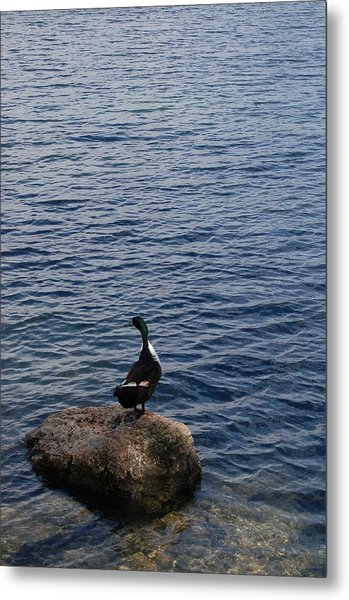 The Duck Metal Print by Siobhan Yost