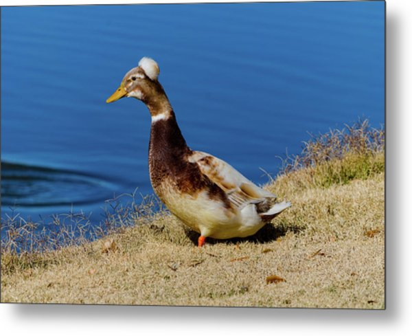 The Duck With The Pillbox Hat Metal Print