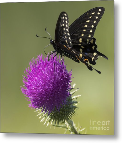 The Eastern Black Swallowtail  Metal Print