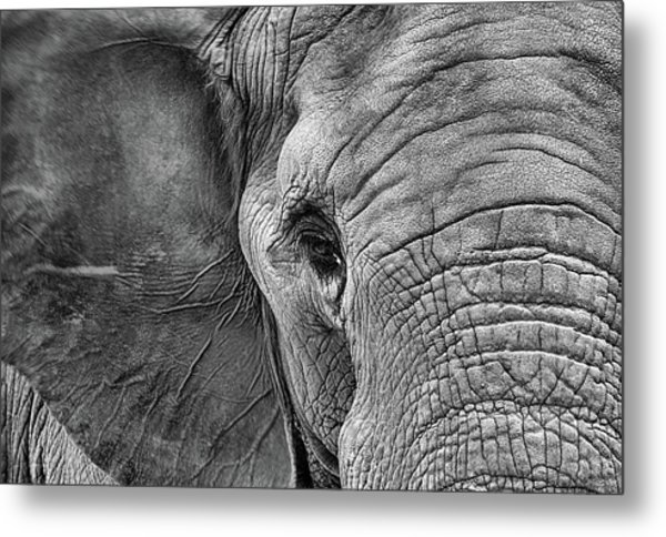 The Elephant In Black And White Metal Print