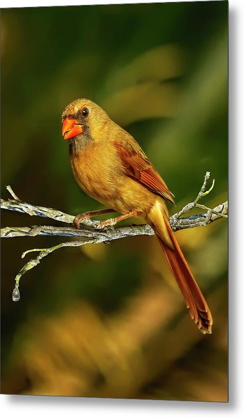 The Female Cardinal Metal Print