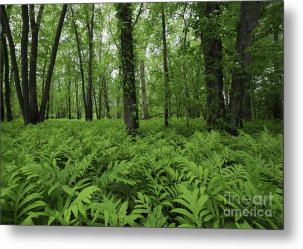 The Forest Of Ferns Metal Print