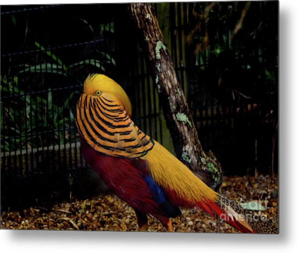 The Golden Pheasant Or Chinese Pheasant -atlanta Ga, Zoo Metal Print