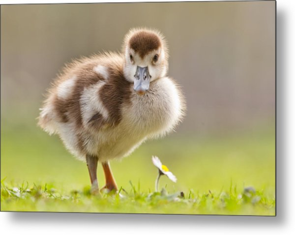 The Gosling And The Flower Metal Print