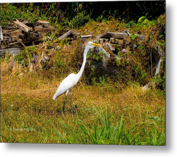 Egret Against Driftwood Metal Print