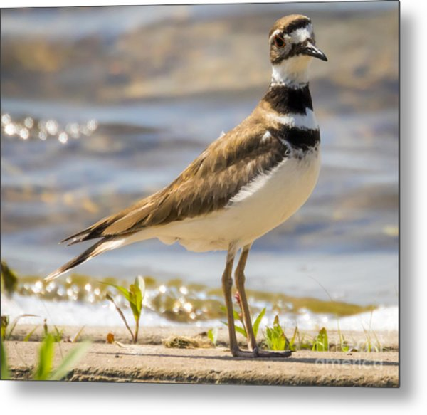 The Handsome Killdeer Metal Print