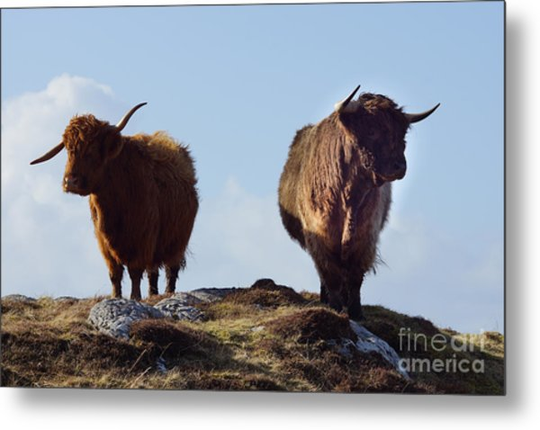 The Highland Cows Metal Print