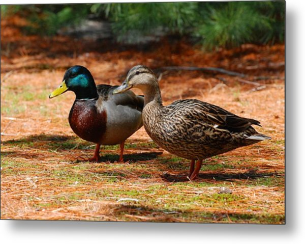 The Honeymooners - Mallard Ducks  Metal Print