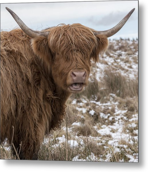 The Laughing Cow, Scottish Version Metal Print