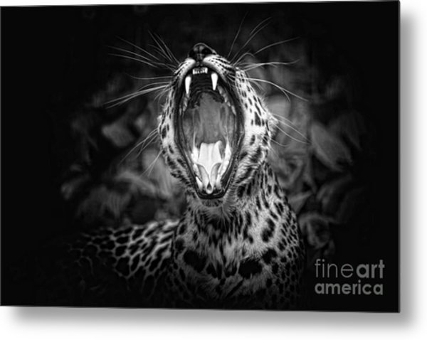 The  Leopard's Tongue Rolling Roar Metal Print