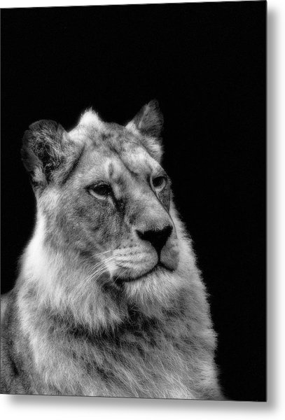 The Lioness Sitting Proud Metal Print