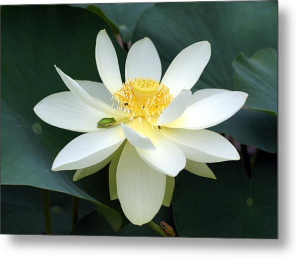 The Lotus Flower The Frog And The Bee Metal Print