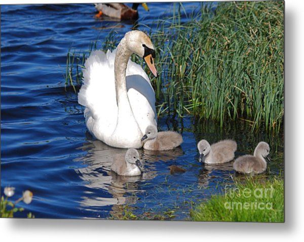 The Lovely Mrs Swan And Family Metal Print by Doug Thwaites
