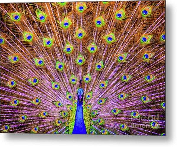 The Majestic Peacock Metal Print