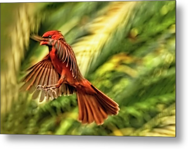 The Male Cardinal Approaches Metal Print