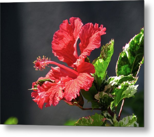 The Mallow Hibiscus Metal Print