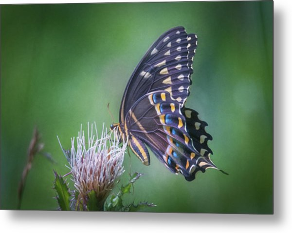 The Mattamuskeet Butterfly Metal Print