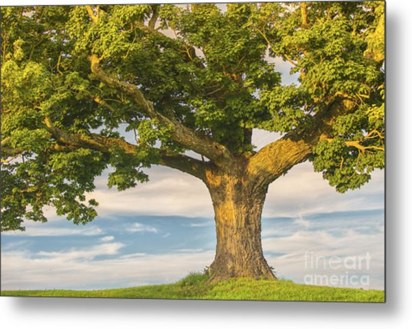 The Mighty Maple Metal Print