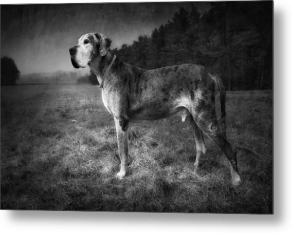 Metal Print featuring the photograph The Old Great Dane by Marc Huebner